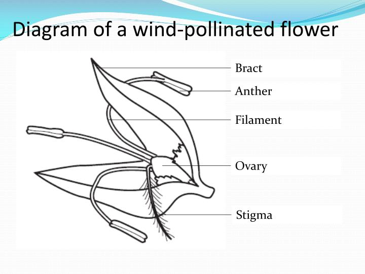 Diagram of a wind-pollinated