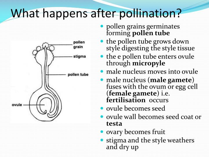 What happens after pollination?