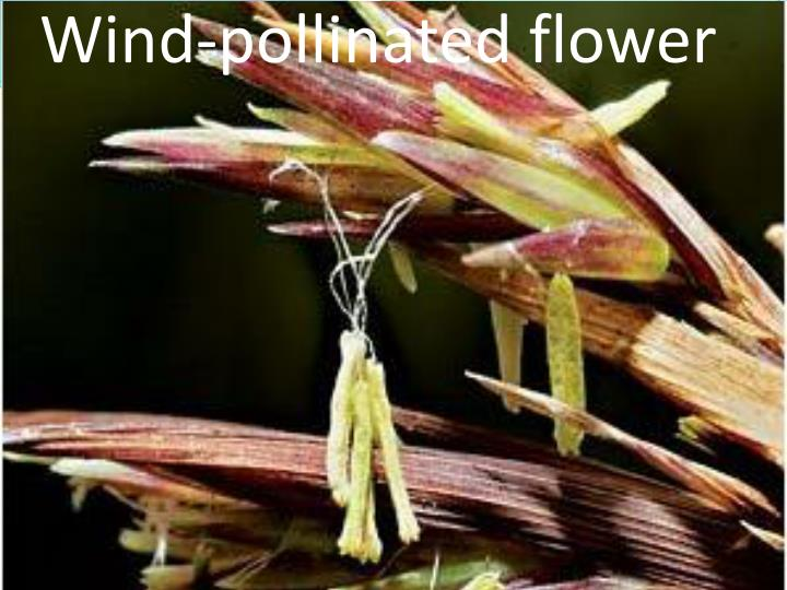Wind-pollinated flower