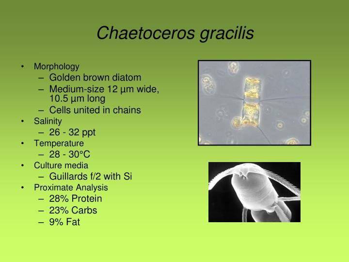 Chaetoceros gracilis
