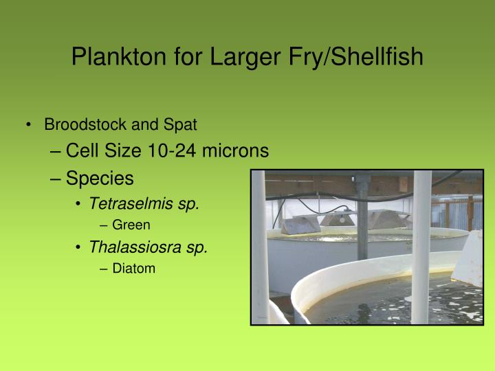 Plankton for Larger Fry/Shellfish