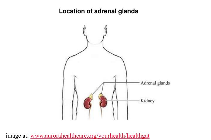 Location of adrenal glands