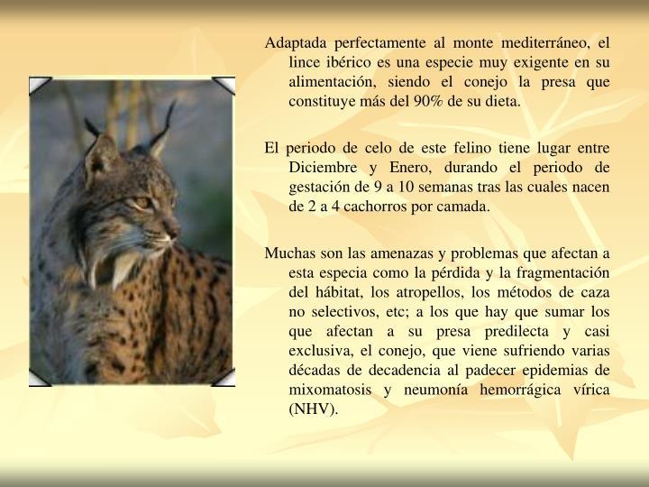 Adaptada perfectamente al monte mediterráneo, el lince ibérico es una especie muy exigente en su alimentación, siendo el conejo la presa que constituye más del 90% de su dieta.