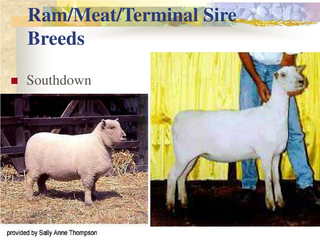 Ram/Meat/Terminal Sire Breeds
