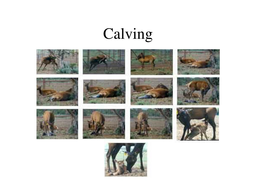 Calving Sequence Pictures