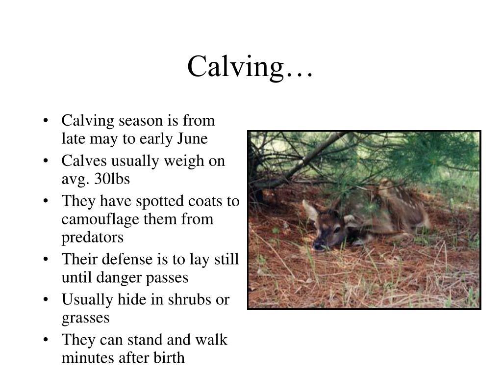 Calving…