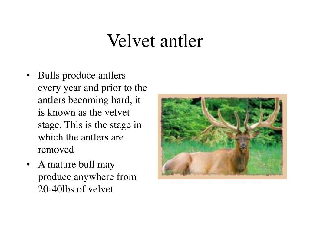 Velvet antler