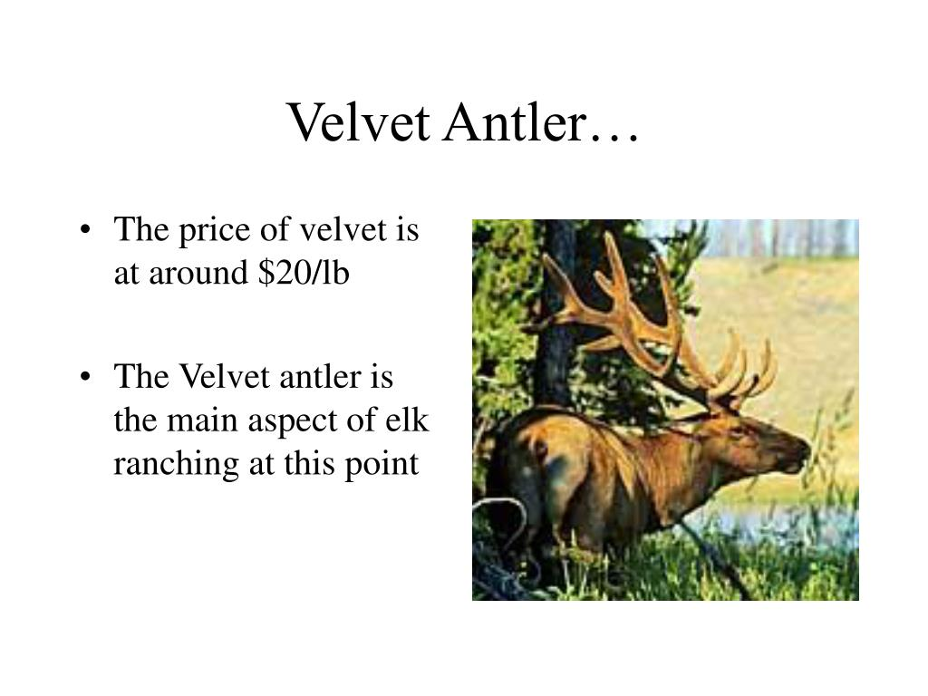 Velvet Antler…