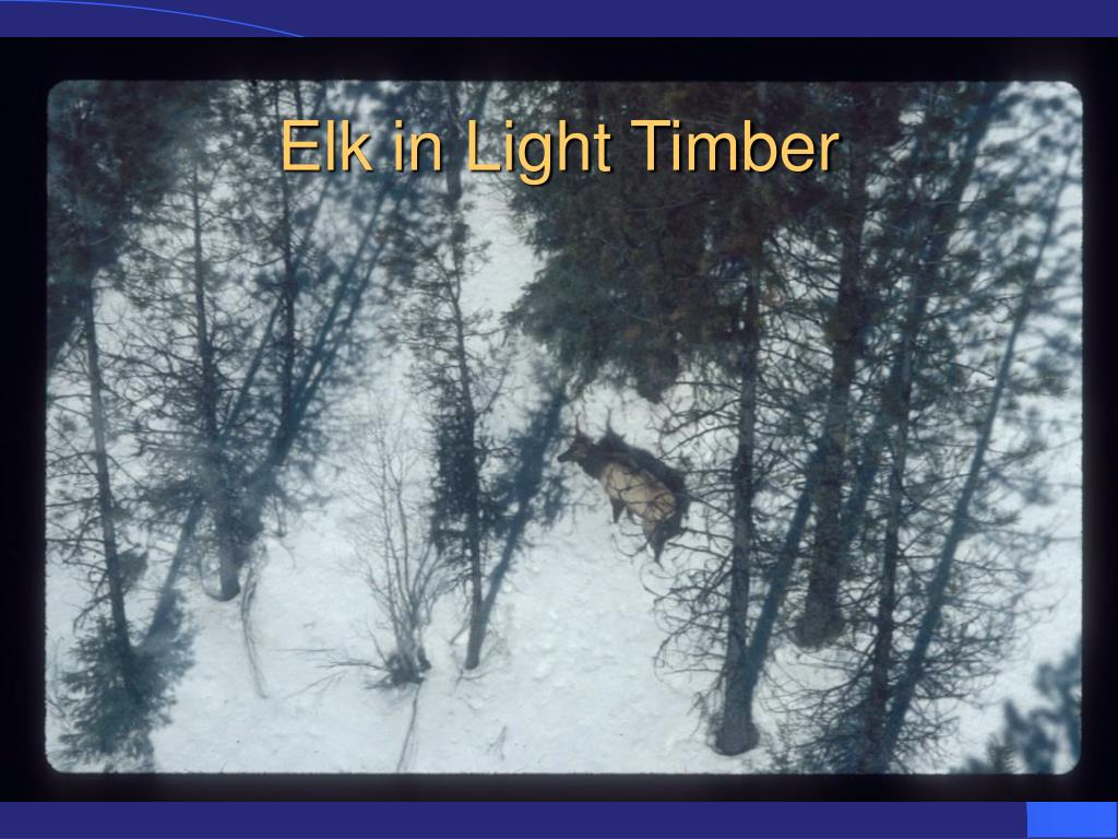 Elk in Light Timber