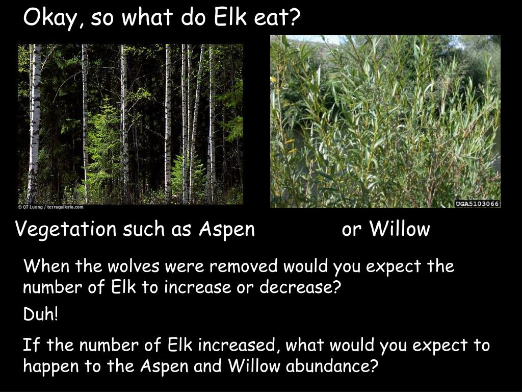 Okay, so what do Elk eat?