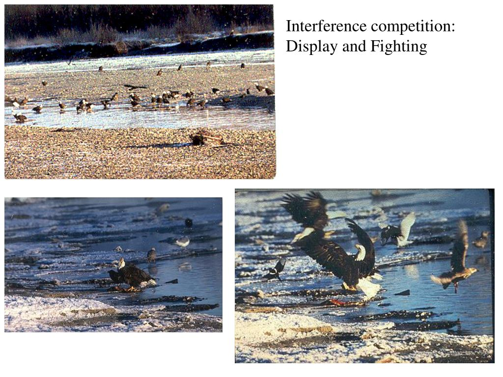 Interference competition: Display and Fighting