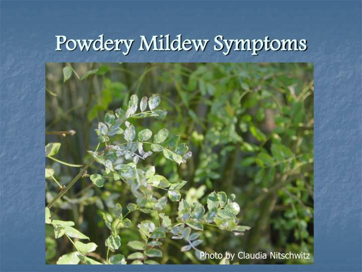 Powdery Mildew Symptoms