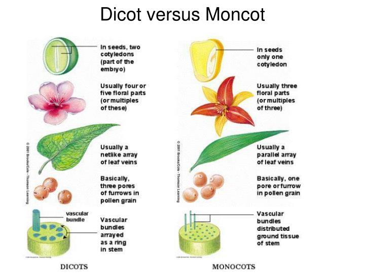 Dicot versus Moncot
