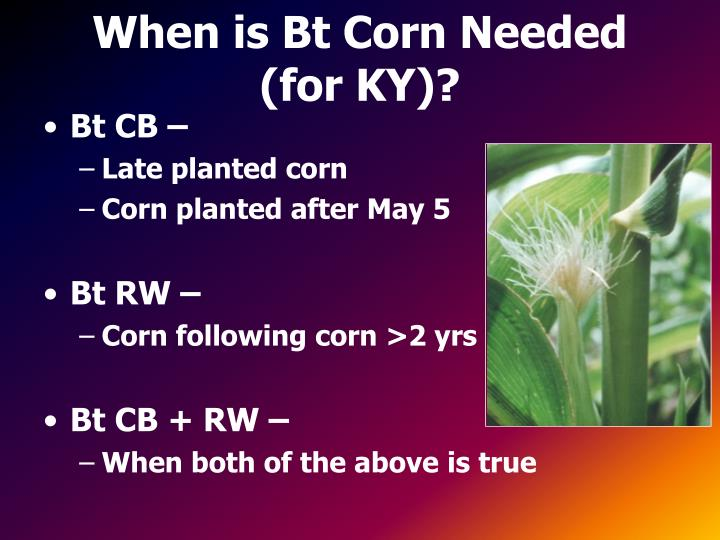 When is Bt Corn Needed (for KY)?
