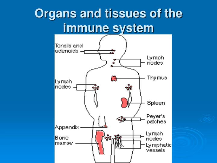 Organs and tissues of the immune system