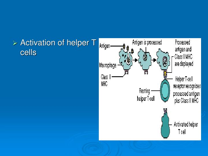 Activation of helper T cells