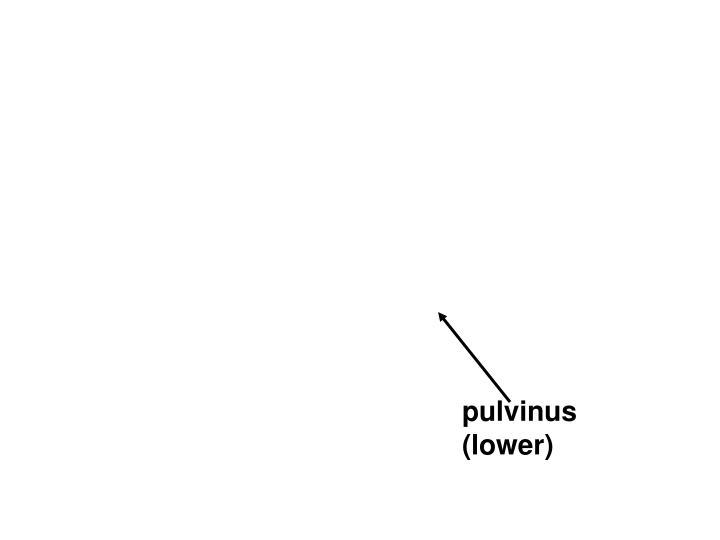 pulvinus