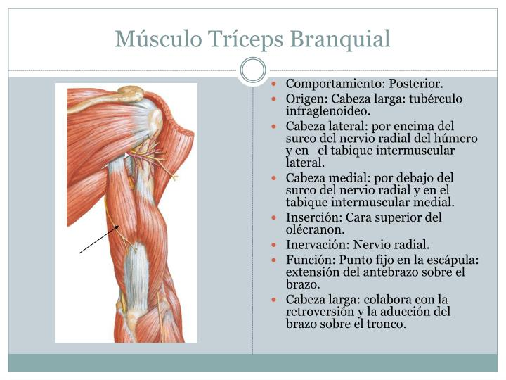 Lujo Anatomía Bíceps Braquial Viñeta - Anatomía de Las Imágenesdel ...