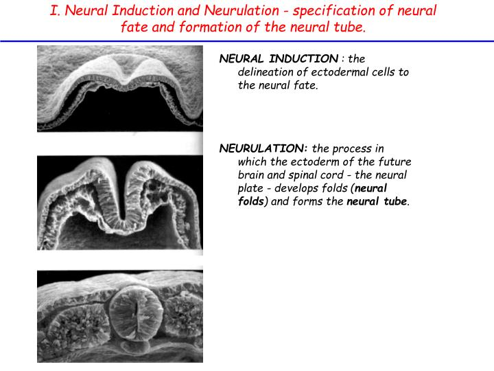 I. Neural Induction and Neurulation - specification of neural fate and formation of the neural tube.