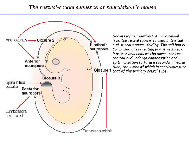 The rostral-caudal sequence of neurulation in mouse