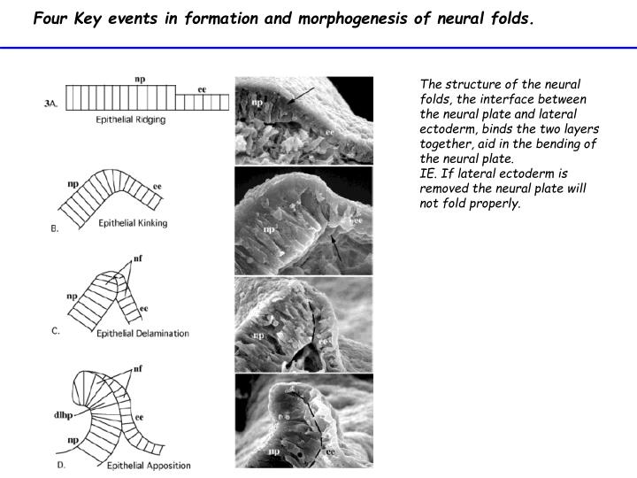 Four Key events in formation and morphogenesis of neural folds.