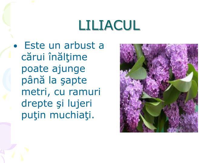 LILIACUL