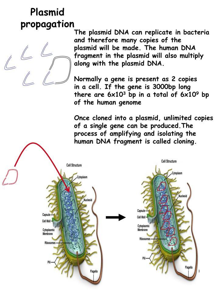 Plasmid propagation