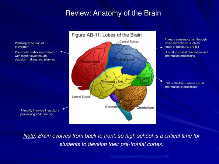 Review: Anatomy of the Brain