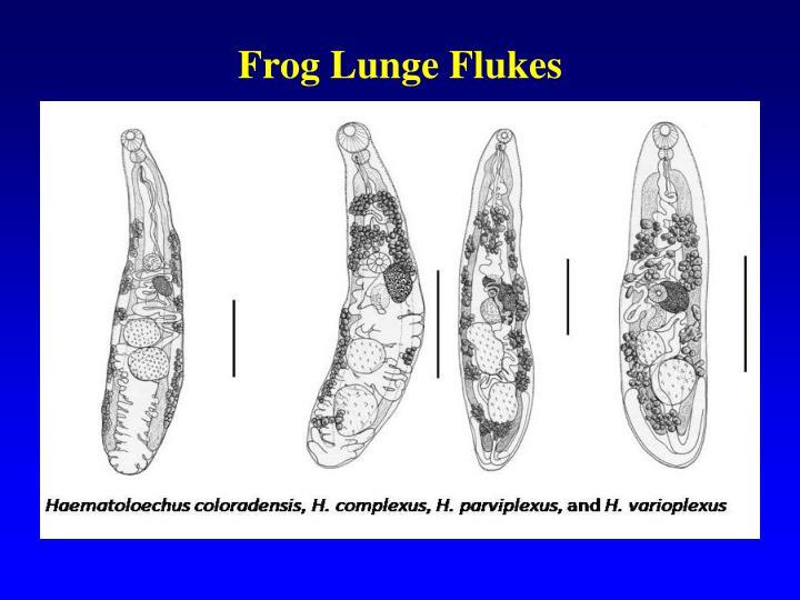 Frog Lunge Flukes