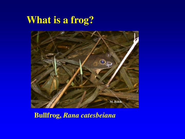 What is a frog?