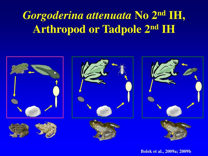Gorgoderina attenuata