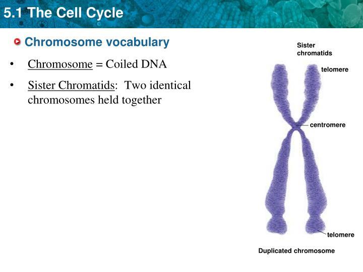 Sister chromatids