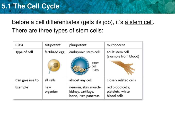 Before a cell differentiates (gets its job), it's
