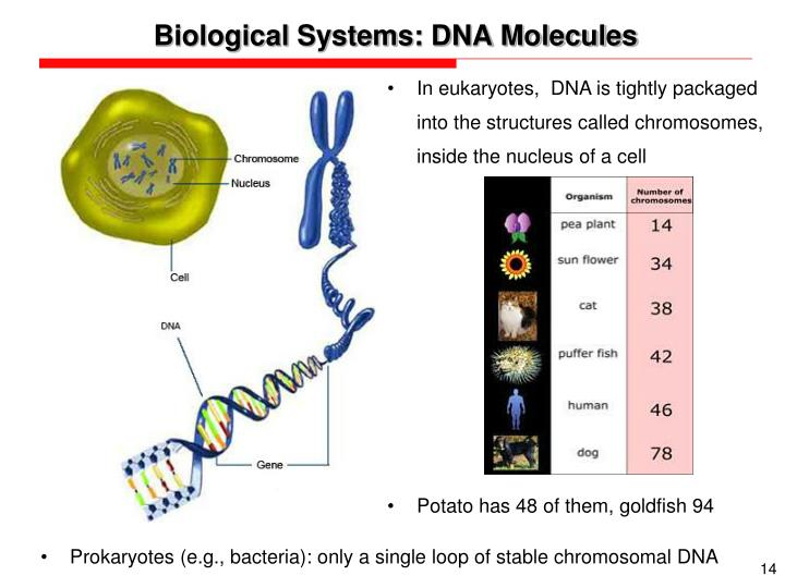 Biological Systems: DNA Molecules