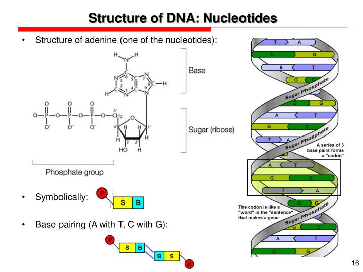 Structure of DNA: Nucleotides