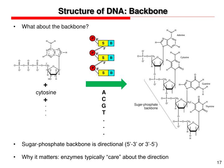 Structure of DNA: Backbone