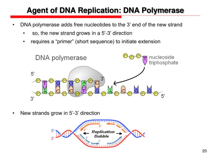 Agent of DNA Replication: DNA