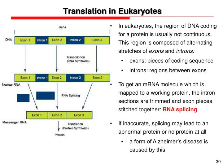 Translation in Eukaryotes