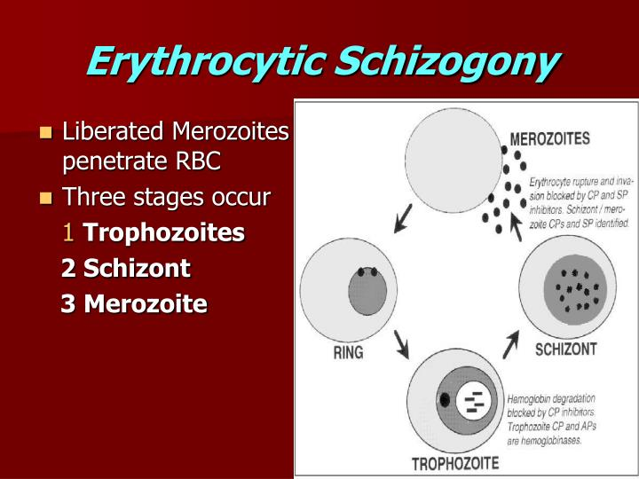 Erythrocytic Schizogony