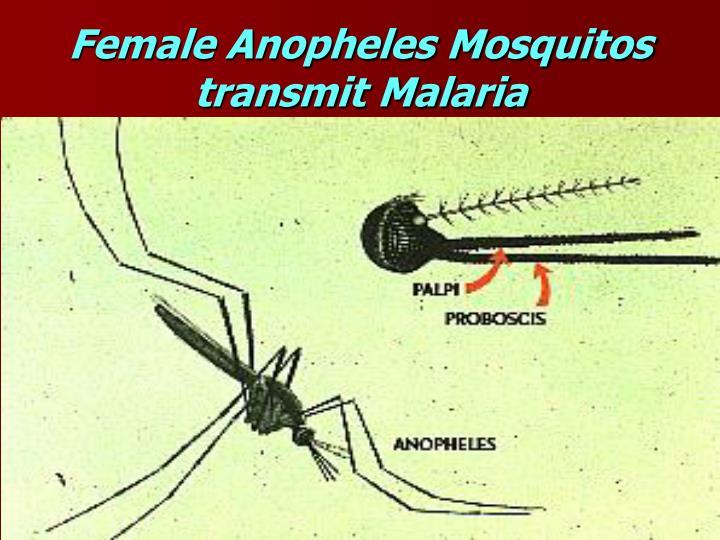 Female Anopheles Mosquitos