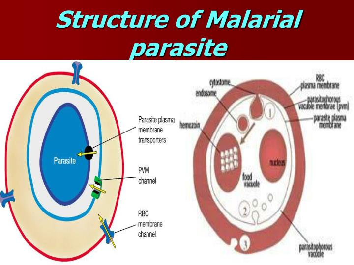 Structure of Malarial parasite