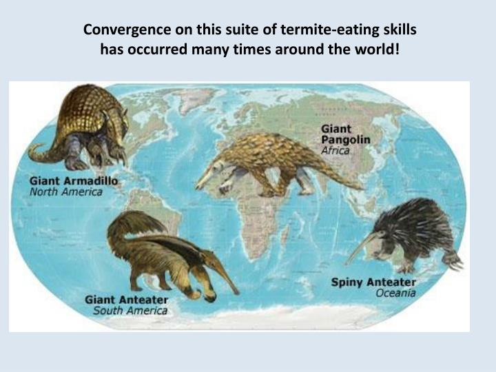 Convergence on this suite of termite-eating skills has occurred many times around the world!