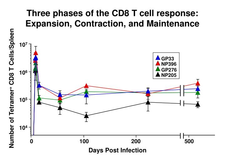 Three phases of the CD8 T cell response:  Expansion, Contraction, and Maintenance