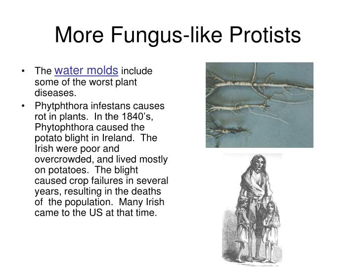 More Fungus-like Protists