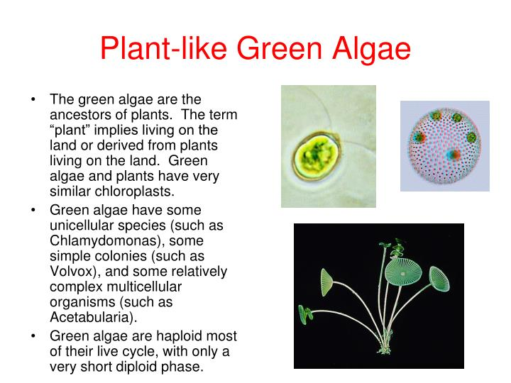 Plant-like Green Algae