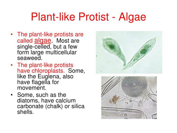 Plant-like Protist - Algae