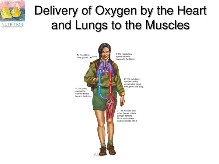 Delivery of Oxygen by the Heart and Lungs to the Muscles