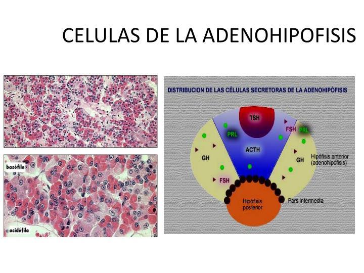 CELULAS DE LA ADENOHIPOFISIS
