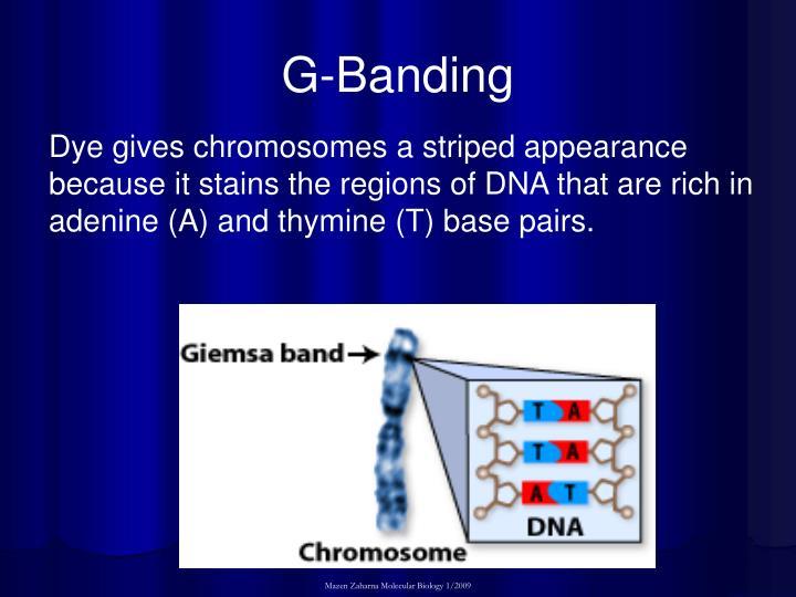 G-Banding