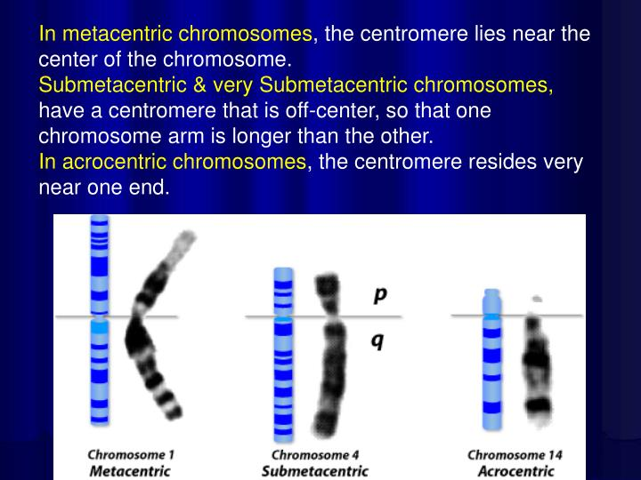 In metacentric chromosomes